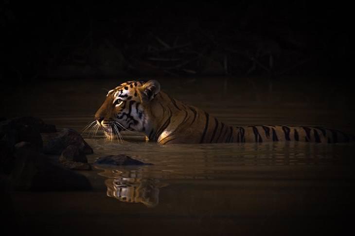 תמונות מתחרות צילום טבע לשנת 2020: טיגריס במים