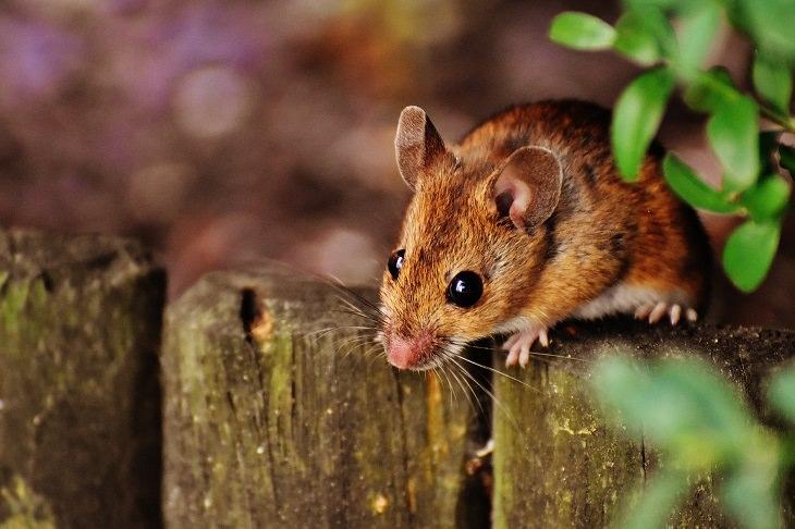 בדיחה: עכבר חום על גדר