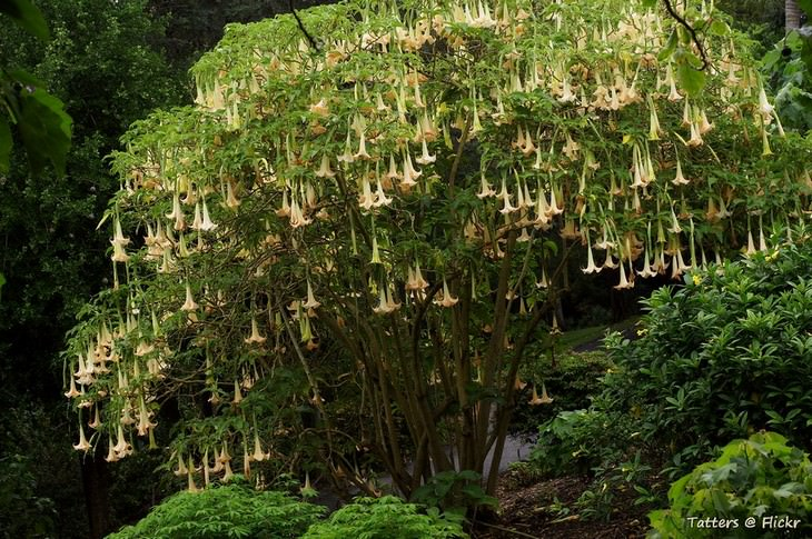 צמחים מפחידים: ברוגמנסיה