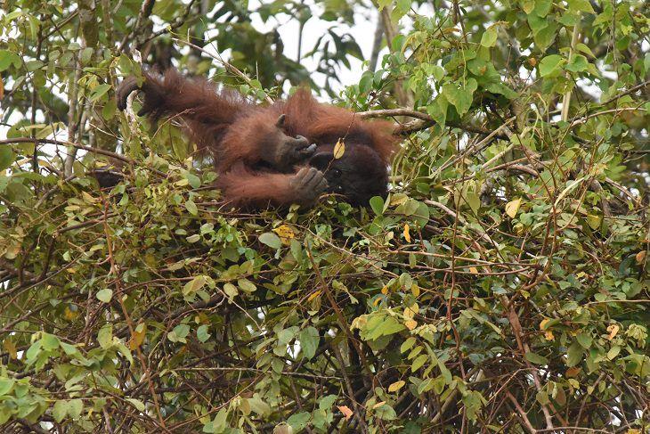 עובדות על קופי אדם: אורנגוטאנג שוכב בקן שבנה לעצמו