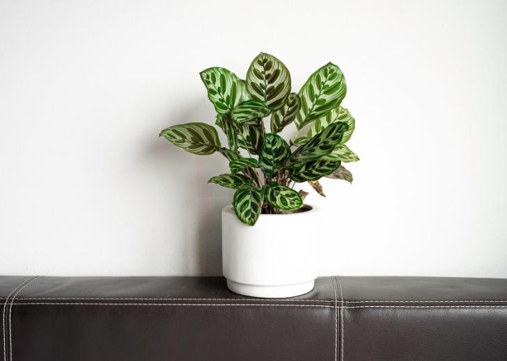צמחים שאפשר לגדל במקומות מוצלים: קלתאה מקויאנה