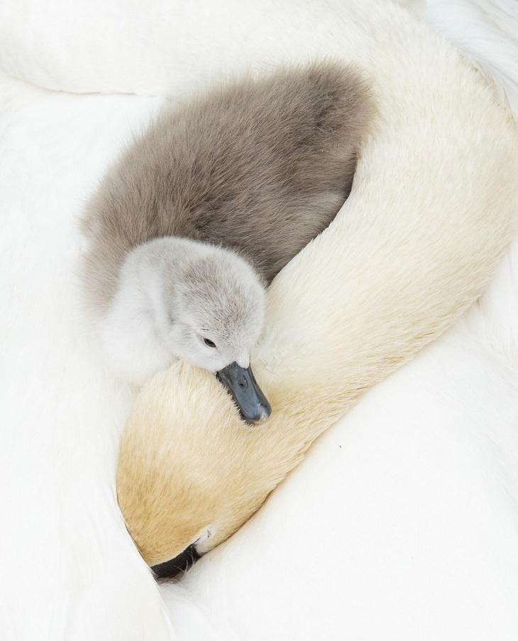 תמונות מתחרות צלם הציפורים 2021: ברבור קטן ואפור שוכב על אימו