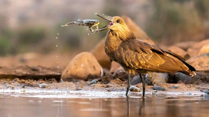 תמונות מתחרות צלם הציפורים 2021: ציפור מסוג טגואן עומדת במים ופותחת את המקור כדי לתפוס צפרדע שקופצת