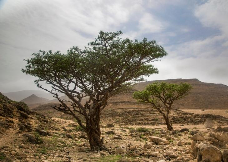 יתרונות הלבונה: עצי לבונה