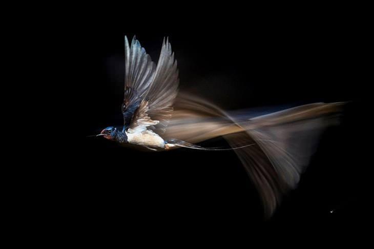 תחרות צילומי הטבע של GDT: סנונית הרפתות בתעופה