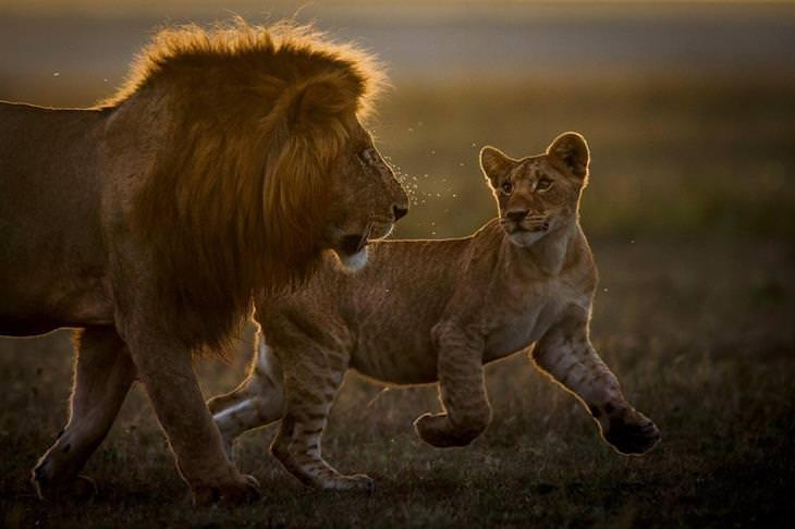 תחרות צילומי הטבע של GDT: אריה בוגר וצעיר