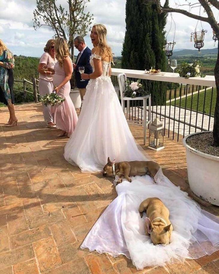 חיות מצחיקות שחושבות שהן הכי חשובות בעולם: שני כלבים שוכבים על שובל של שמלת כלה