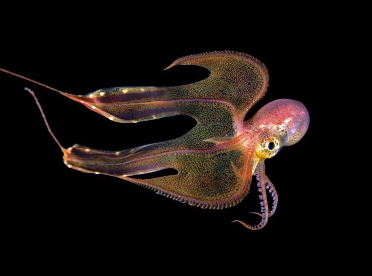 תמונות של יצורים תת-ימיים: תמנון מתחת למים