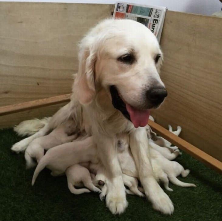 אימהות כלבים וגורים חמודים: כלבה עם הרבה גורים תחתיה