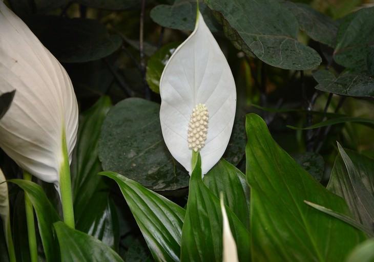 פרחים היפו אלרגניים: ספטיפיליום