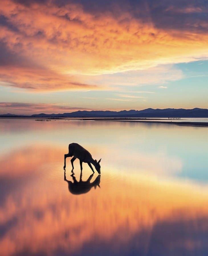 מקומות מדהימים מרחבי העולם: אייל שותה מים באגם רדוד לאור שקיעה באורגון