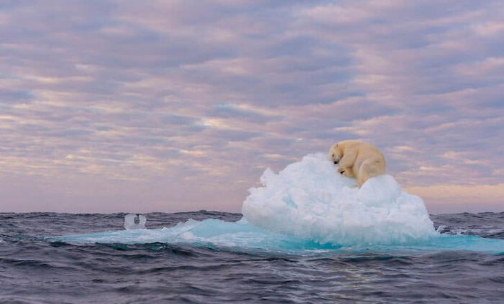 התמונות הזוכות מתחרות צילום הטבע BigPicture 2021: דוב קוטב על קרחון