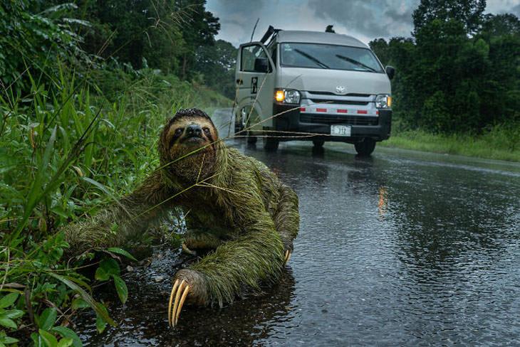 התמונות הזוכות מתחרות צילום הטבע BigPicture 2021: עצלן עומד על הכביש לצד רכב ואן