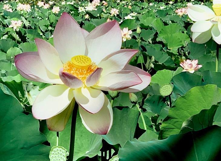תמונות נפלאות מגן פרחי מים
