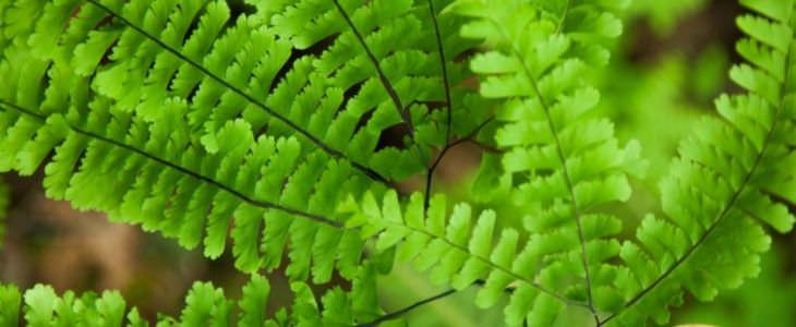 צמחים תלויים שמומלצים לגידול ביתי: שערות שולמית