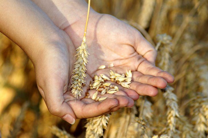מחקר על היתרונות בצריכת דגנים מלאים: יד מחזיקה גרגירי חיטה