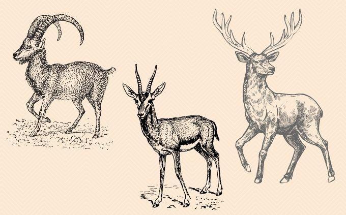 מבחן הבדלי חיות: אייל, יעל וצבי