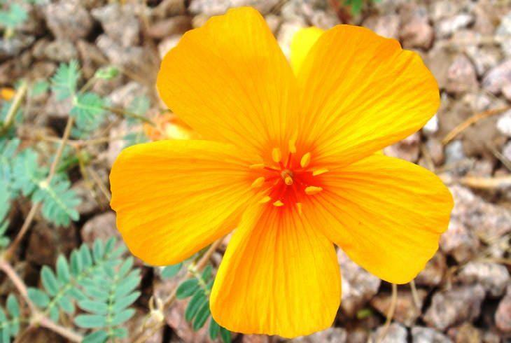 פרחים מדבריים: פרג אריזונה