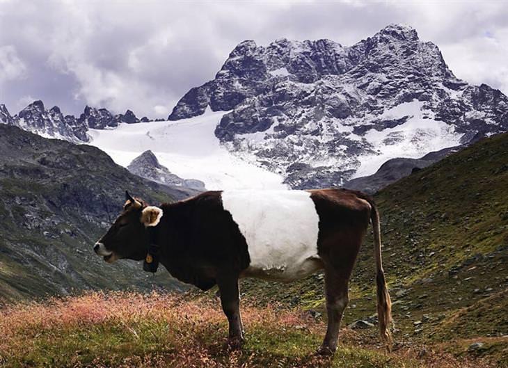 תמונות זוכות מתחרות הצילום של Cewe: פרה שחורה-לבנה עומדת על רקע הר מושלג