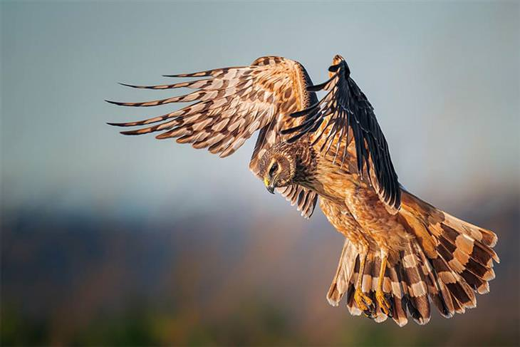 תמונות זוכות מתחרות צילום הציפורים אודובון 2021: נקבת זרון צפוני במעופה