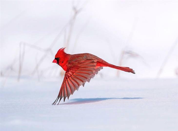 תמונות זוכות מתחרות צילום הציפורים אודובון 2021: ציפור מסוג קרדינל צפוני טסה מעל מישור שלג