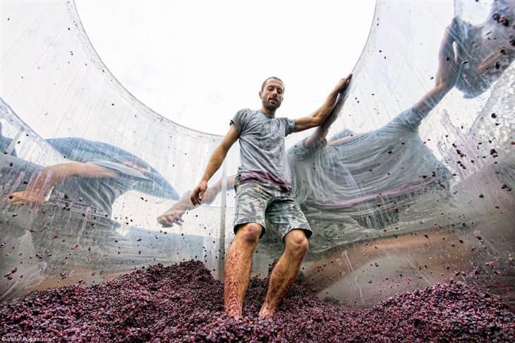 תחרות צילום מזון 2021: איש מועך ענבים בעזרת הרגליים