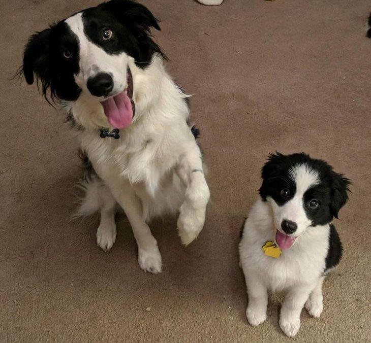 הורים וגורי כלבים דומים: בורדר קולי