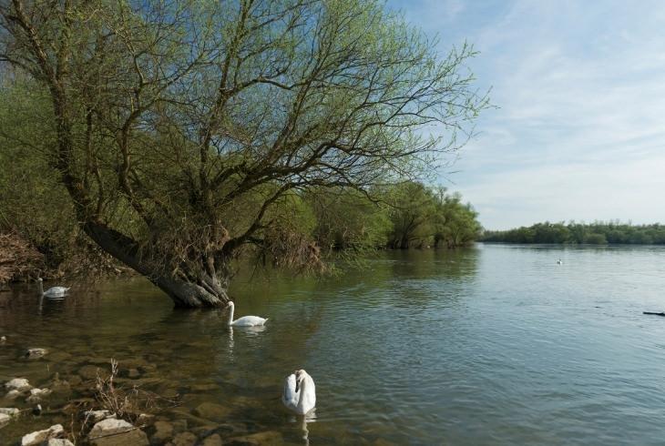 יתרונות בריאותיים של ערבה לבנה: עץ ערבה לבנה לצד נחל