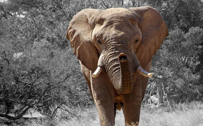 מבחן חיות באפריקה: פיל