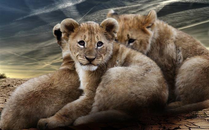 מבחן חיות באפריקה: גור אריות