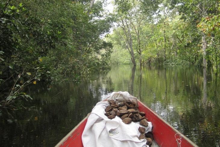 יתרונות אגוזי ברזיל: אגוזי ברזיל על סירה בלב האמזונאס
