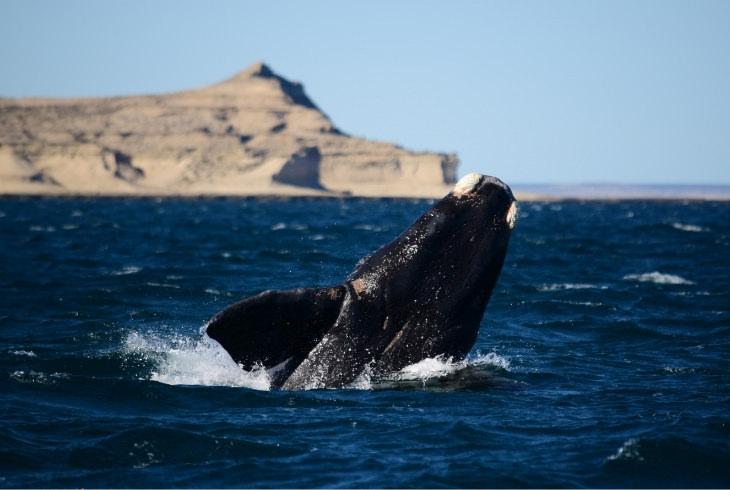 פלאי טבע בארגנטינה: לוויתן שוחה בסמוך לחצי האי ואלדס