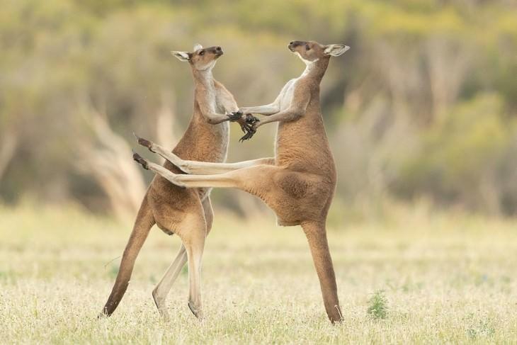 תחרות צילום של חיות מצחיקות: שני קנגורו מחזיקים ידיים