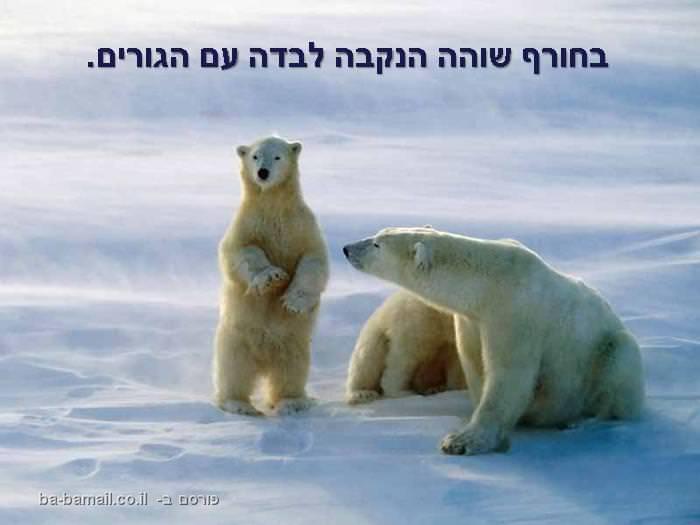 דוב הקוטב