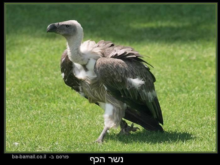 עופות דורסים, טבע, נשר הכף