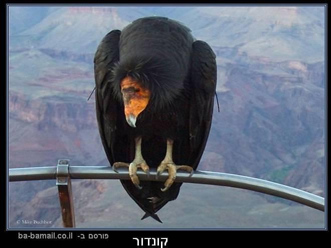 עופות דורסים, טבע, קונדור