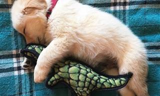 כלבי הגולדן רטריבר עושים את הדברים הכי מתוקים בעולם