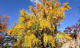 יתרונות מגובים מחקרית והסברים על תמציות עץ הגינקו בילובה