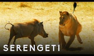 7 סרטוני טבע מהסרנגטי שבאפריקה