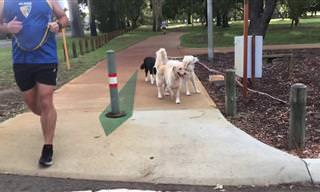 שתי כלבות מקסימות עובדות ביחד כדי לסחוב מקל גדול