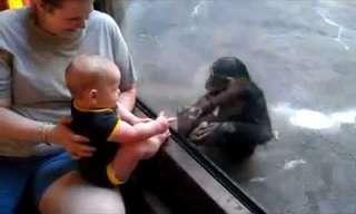 תינוק וגור שימפנזים יוצרים קשר בגן החיות