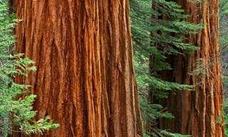עצי הסקוויה הענקיים - העצים הגדולים בעולם!!