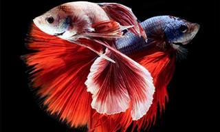 תמונות מדהימות של דגי קרב סיאמיים