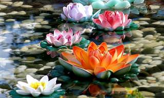 העוצמה והיופי של פרחי הלוטוס