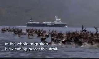 נדידת איילי הצפון מעבר למים