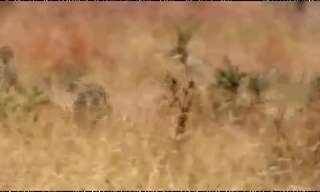 אריה מול ברדלס - מי צד טוב יותר?