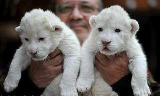 גורי אריות לבנים בגרמניה