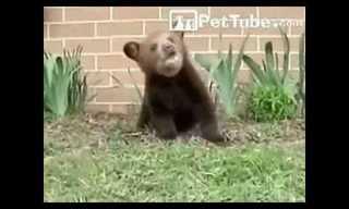 הדב שלא מפסיק להתעטש - מצחיק!