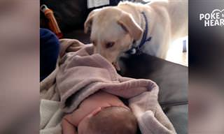 אוסף סרטוני כלבים שמטפלים בילדים קטנים ודואגים להם