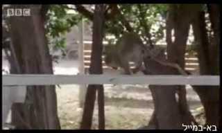 סנט-קיט: אי הקופים השיכורים